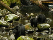 Black Bear and two cubs