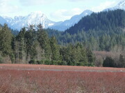 Red blueberry fields