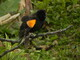 Red Winged Male Blackbird