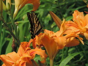 Swallowtail & Lily