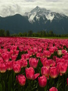 Tulips & Mount Cheam,  Agassiz
