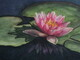 Water Lily Life